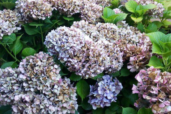 Mismanitas diy blog de manualidades y reciclaje - Como secar hortensias ...